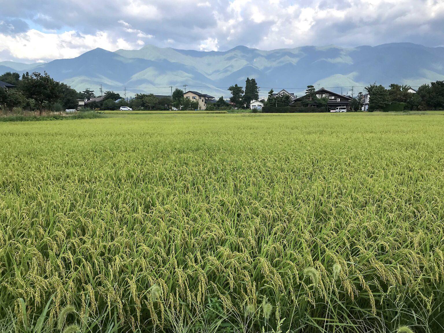 信州安曇野の稲
